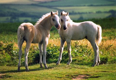 Cefn Bryn Ponies
